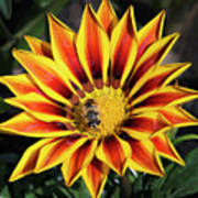 Gazania With Insect Poster