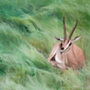 Gazelle In The Grass Poster