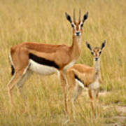 Gazelle Mother And Child Poster