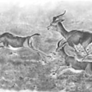 Gazelles Poster
