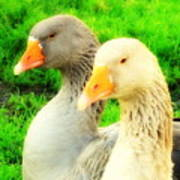 Geese Have Strong Affections For Others In Their Group Poster