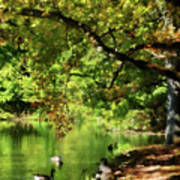 Geese By Pond In Autumn Poster
