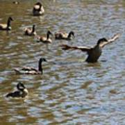 Geese On Lake June 27 2015 Poster