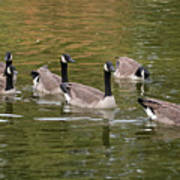 Geese On Pond Poster