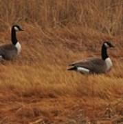 Geese On The Salt Marsh  Poster