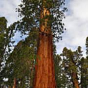 General Sherman Tree Poster