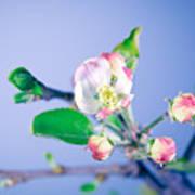 Gentle Apple Tree Flowers Poster
