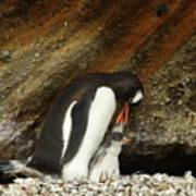 Gentoo Penguin Feeding Chicks Poster