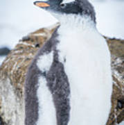 Gentoo Penguin With Turned Head On Snow Poster