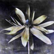 Genus Protea Poster
