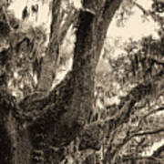 Georgia Live Oaks And Spanish Moss In Sepia Poster