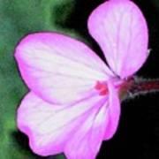 Geranium Blossom Poster