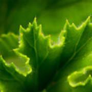Geranium Leaf Poster