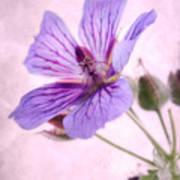 Geranium Maculatum Poster