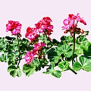 Geraniums In A Row Poster