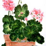 Geraniums In Clay Pots Poster