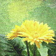Gerber Daisy And Reflection Poster