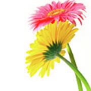Gerber Flowers Poster by Carlos Caetano
