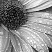 Gerbera Daisy After The Rain 3 Poster