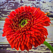 Gerbera Daisy Against Old Wall Poster