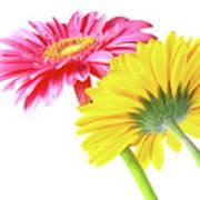 Gerbera Flowers Poster by Carlos Caetano