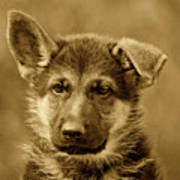 German Shepherd Puppy In Sepia Poster