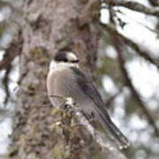 Get My Good Side-grey Jay Poster