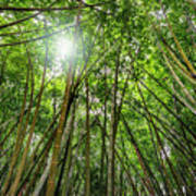 Giant Bamboo In Forest With Sunflare Poster