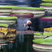 Giant Lily Pads Poster