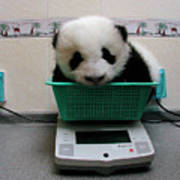 Giant Panda Ailuropoda Melanoleuca Baby Poster