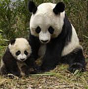 Giant Panda Ailuropoda Melanoleuca Poster by Katherine Feng