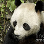 Giant Panda At Rest Poster