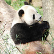 Giant Panda Bear Leaning Against A Tree Trunk Eating Bamboo Poster