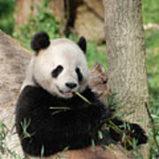 Giant Panda Bear Lounging On Against Tree Trunk Poster