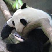 Giant Panda Bear Resting On A Fallen Tree Poster