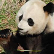 Giant Panda Feeding Himself Shoots Of Bamboo  Poster