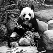 Giant Panda In Black And White Poster