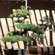 Giant Redwood Bonsai  Poster
