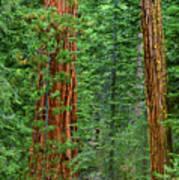 Giant Sequoias Sequoiadendron Gigantium Yosemite Np Ca Poster