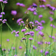 Giant Swallowtail Butterfly In Purple Field Poster