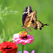 Giant Swallowtail Butterfly On Pink Zinnia Poster
