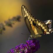 Giant Swallowtail Poster