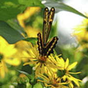 Giant Swallowtail Wings Folded Poster