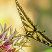 Giant Swallowtail With Yosemite Showy Milkweed Poster