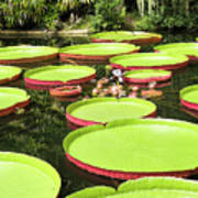 Giant Water Lily Platters Poster