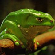 Giant Waxy Monkey Tree Frog Poster