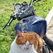 Ginger And White Tabby Cat Sunbathing On A Motorcycle Poster