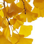 Ginkgo Ginkgo Biloba Leaves In Autumn Poster