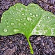 Ginkgo Leaf  Poster