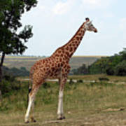 Giraffe 3 Poster